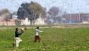 ভারতে সাতটি রাজ্যে ছড়িয়েছে পঙ্গপাল, ঝুঁকিতে আছে গ্রীষ্মকালীন ফসল