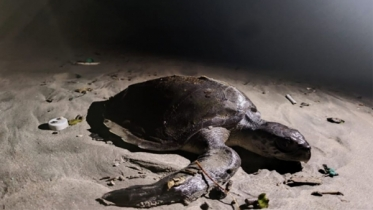 কক্সবাজারে মারা গেছে ৪০ টি কাছিম, বর্জ্য পরিস্কারে স্বেচ্ছাসেবকরা