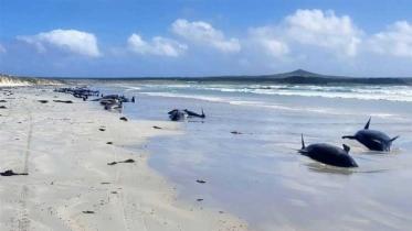 নিউজিল্যান্ডে সমুদ্র তীরে আটকে ১০০ তিমির মৃত্যু
