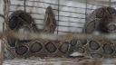 জালে উঠলো বিষধর সাপ রাসেল`স ভাইপার, এলাকায় আতংক