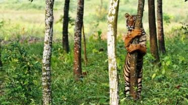 সুন্দরবনে বাঘ-হরিণ পাচাররোধে রেড এলার্ট জারি