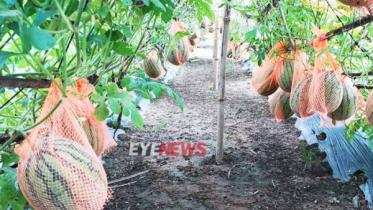 গ্রীষ্মকালীন হাইব্রিড হলুদ তরমুজ চাষে কমলগঞ্জের আব্দুল মতিনের বাজিমাত