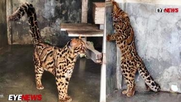 মারবেল ক্যাট: শ্রীমঙ্গলে দেশের একমাত্র এবং সবচেয়ে বিরল বিড়াল