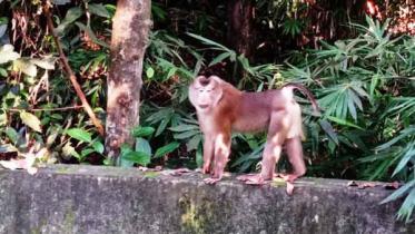 লাউয়াছড়া জাতীয় উদ্যানে কেশরওয়ালা 'সিংহ বানর'